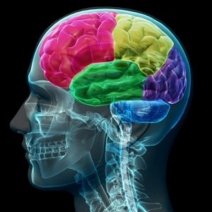 مغز به چهار لوب پیشانی، آهیانه، گیجگاهی و پس سری تقسیم می شود