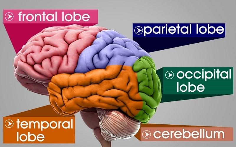 آناتومی مغز انسان