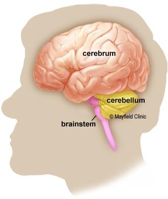 مغز سه بخش اصلی دارد: مخ، مخچه، بصل النخاع