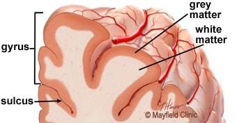 قشر مغز جدیدترین قسمت مغز انسان طی روند تکامل