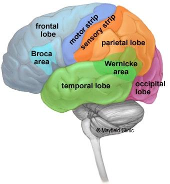 مغز انسان از 4 لوب تشکیل شده است