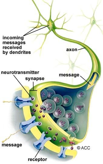 نورون ها انواع مختلفی دارند