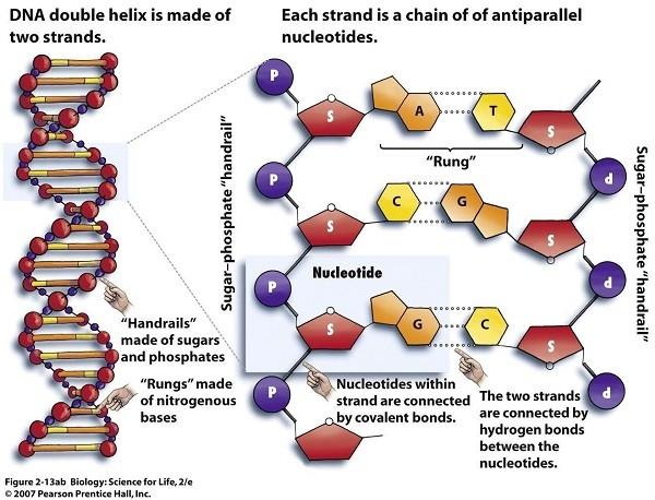 ساختار نوکلئوتیدها