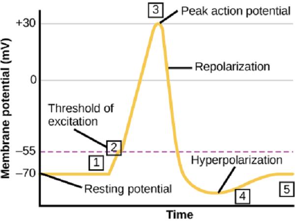 پتانسیل عمل در نورون دارای مراحل مختلفی میباشد
