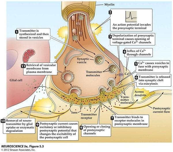 پتانسیل عمل در نورون باعث آزاد شدن نوروترانسمیترها میشود