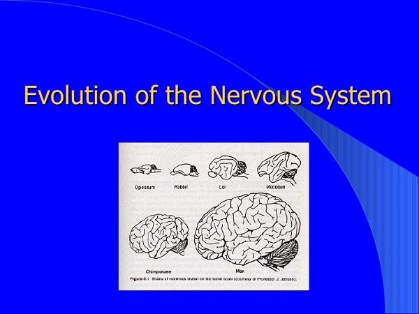 تکامل سیستم عصبی انسان در طول زمان