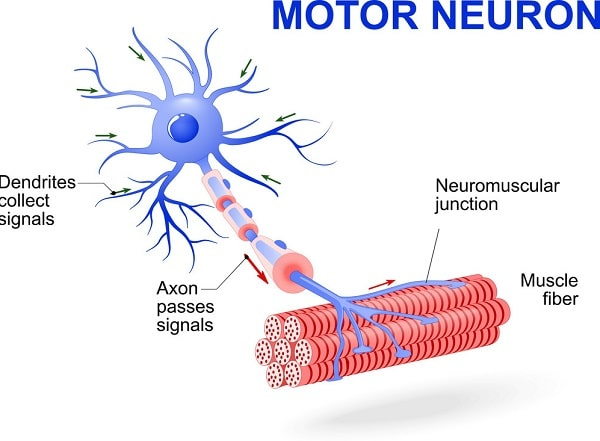 نورون ها ی حرکتی دستور صادر شده از سیستم عصبی مرکزی را به اندام های عملکری میبرد