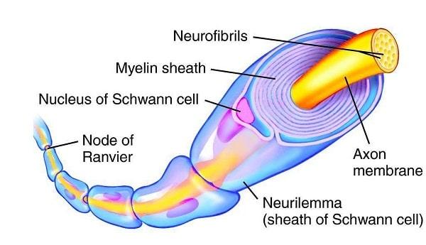 غلاف میلین تولید شده توسط سلول های پشتیبان به تسریع حرکت پیام الکتریکی در طول نورون ها کمک میکند