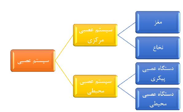 سیستم عصبی انسان به دو قسمت سیستم اعصاب مرکزی و سیستم اعصاب محیطی تقسیم بندی میشود