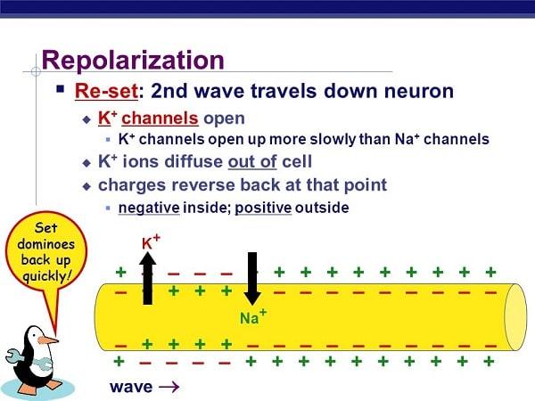 ریپولاریزاسیون مرحله ی بازگشت نورون به حالت عادی میباشد