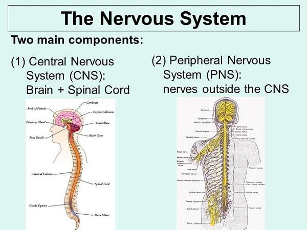 سیستم اعصاب محیطی و سیستم اعصاب مرکزی