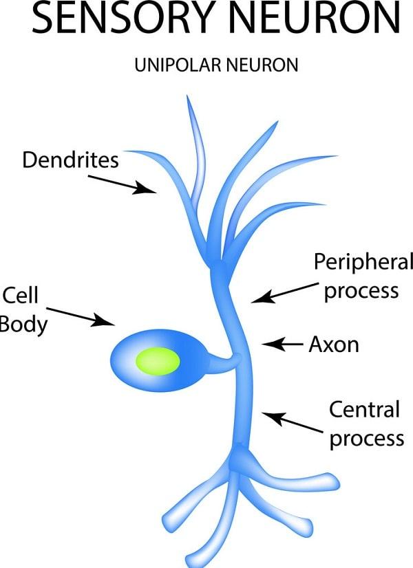 نورون ها ی حسی پیام دریافتی از اندام های حسی را به مغز و نخاع انتقال میدهند