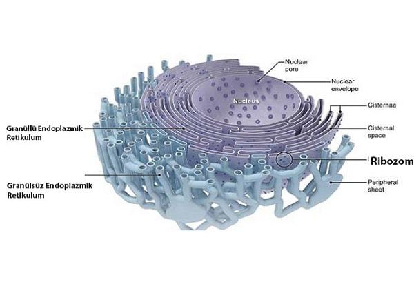 غشا سازی و ساخت پروتئین از وظایف شبکه آندوپلاسمی میباشد
