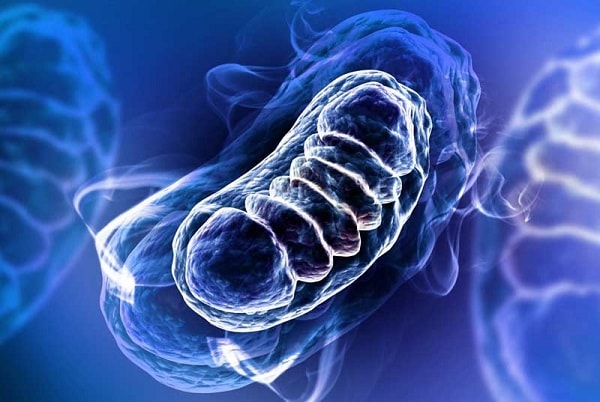 وظیفه ی اصلی میتوکندری تولید و تامین انرژی سلول است