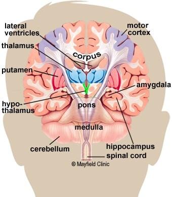 ساختاری های عمقی مغز
