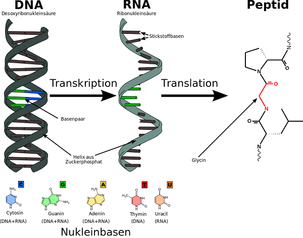 بیان ژن به معنی ساخته شدن پروتئین از روی توالی ژن است