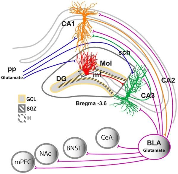 هیپوکامپ عضوی از مغز است و در ناحیهی لوب گیجگاهی قرار میگیرد