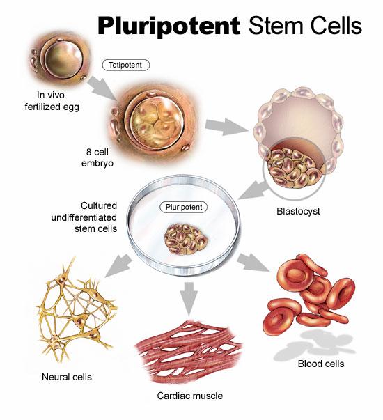 سلول های بنیادی همه توان