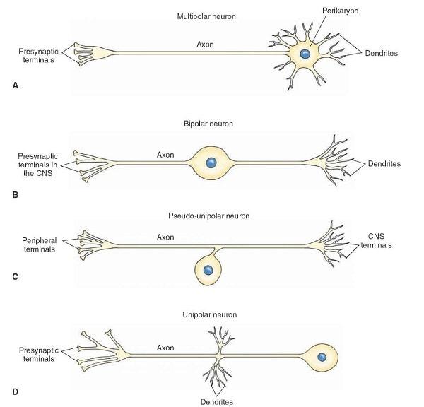 نورون ها از نظر ظاهری به چهار دسته تقسیم می شوند