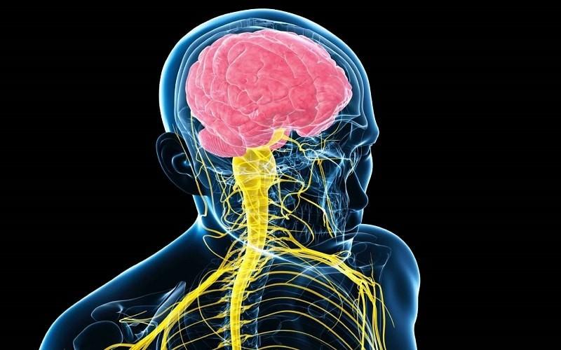 سیستم عصبی انسان، هماهنگ کنندهی اعضا با یکدیگر