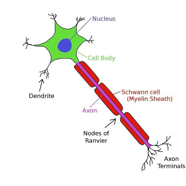 نورون ها ی حرکتی دارای آکسون بلند و دندریت کوتاه میباشند