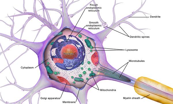 جسم سلولی در برگیرندهی هسته در نورون ها است