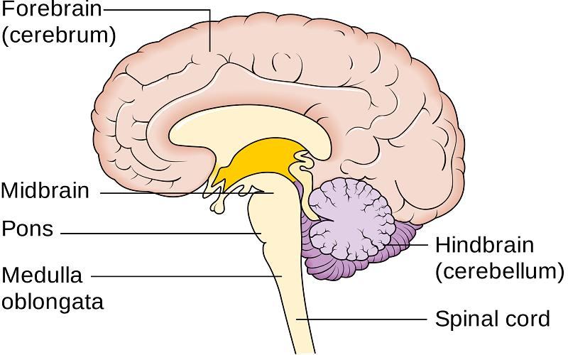 مغز انسان به طور کلی از سه بخش تقسیم مغز پیشین و مغز میانی و مغز خلفی تشکیل میشود