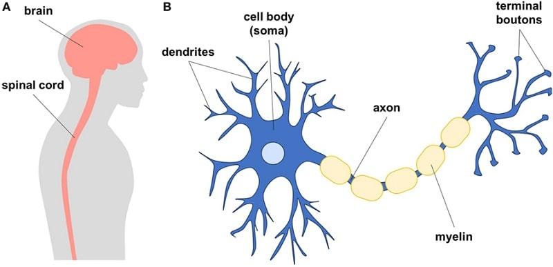 تبدیل سلولهای بنیادی به نخاع و مغز