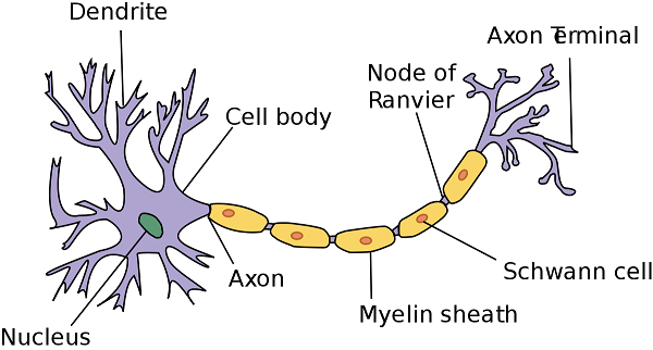 نورون شامل دندریت، جسم سلولی و آکسون است
