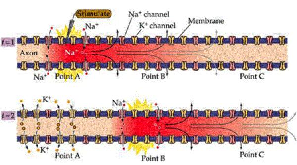 پتانسیل عمل در طول نورون های مختلف با سرعت های متفاوتی منتشر میشود